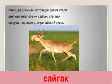 сайгак Очень редкими в настоящее время стали степная антилопа — сайгак, степн...