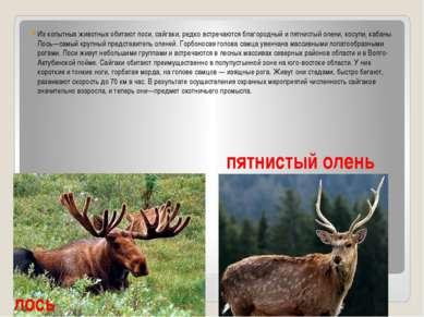 Из копытных животных обитают лоси, сайгаки, редко встречаются благородный и п...