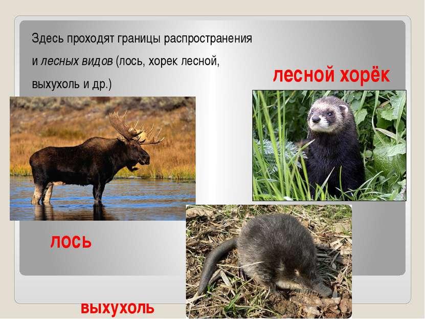лось Здесь проходят границы распространения и лесных видов (лось, хорек лесно...