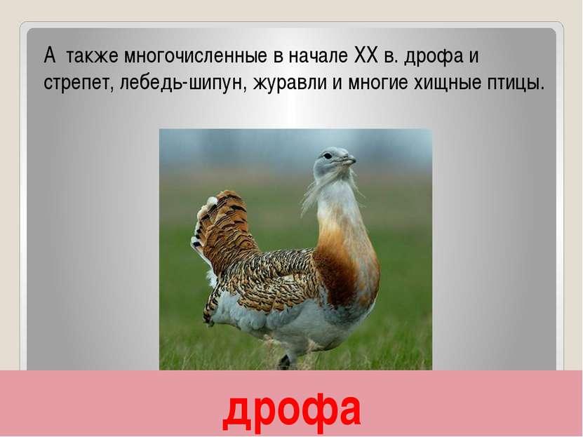 дрофа А также многочисленные в начале XX в. дрофа и стрепет, лебедь-шипун, жу...