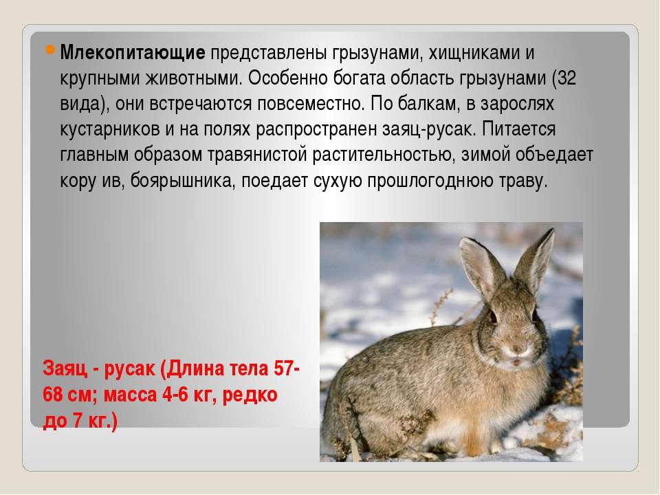 Заяц - русак (Длина тела 57-68 см; масса 4-6 кг, редко до 7 кг.) Млекоп...