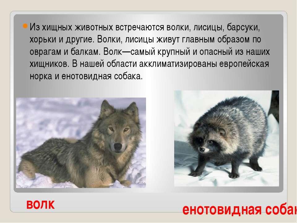 Из хищных животных встречаются волки, лисицы, барсуки, хорьки и другие. Волки...