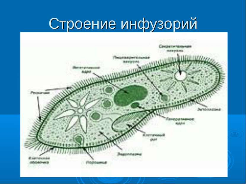 Строение инфузорий реснички