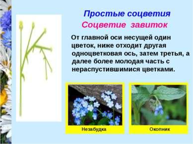 Простые соцветия Соцветие завиток От главной оси несущей один цветок, ниже от...