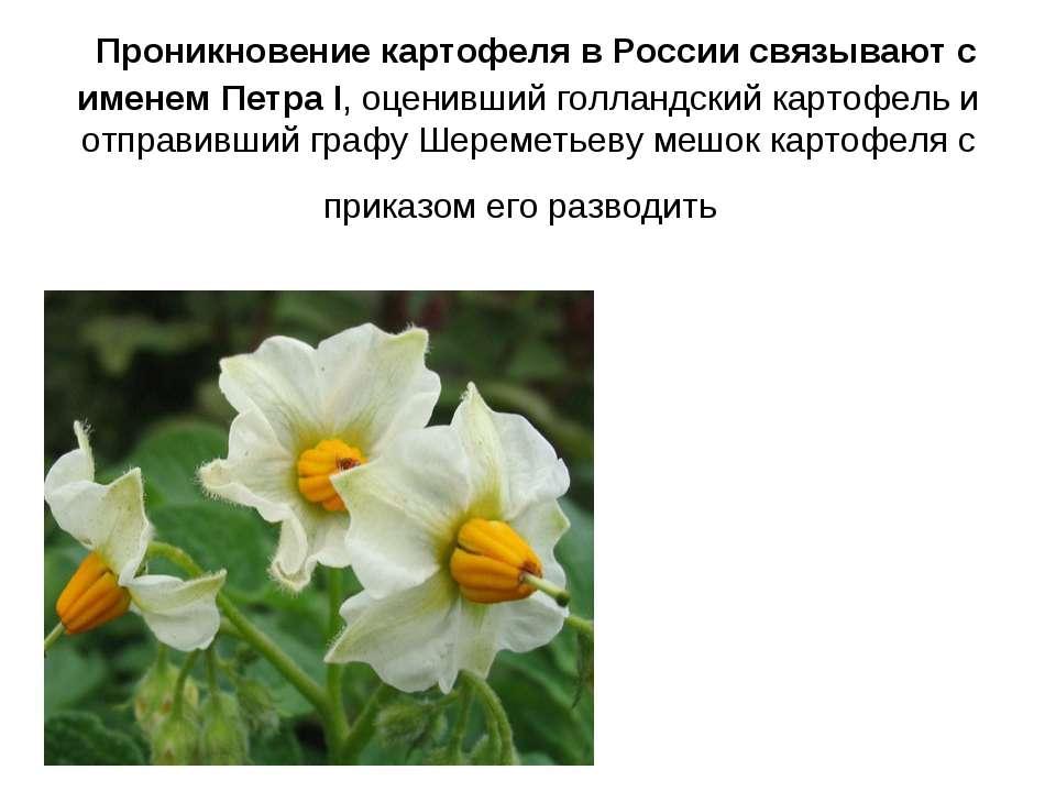 Проникновение картофеля в России связывают с именем Петра I, оценивший голлан...