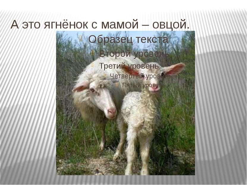 А это ягнёнок с мамой – овцой.