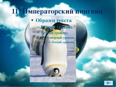 11) Императорский пингвин