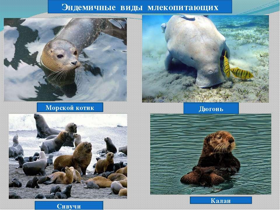 Дюгонь Морской котик Сивучи Эндемичные виды млекопитающих Калан