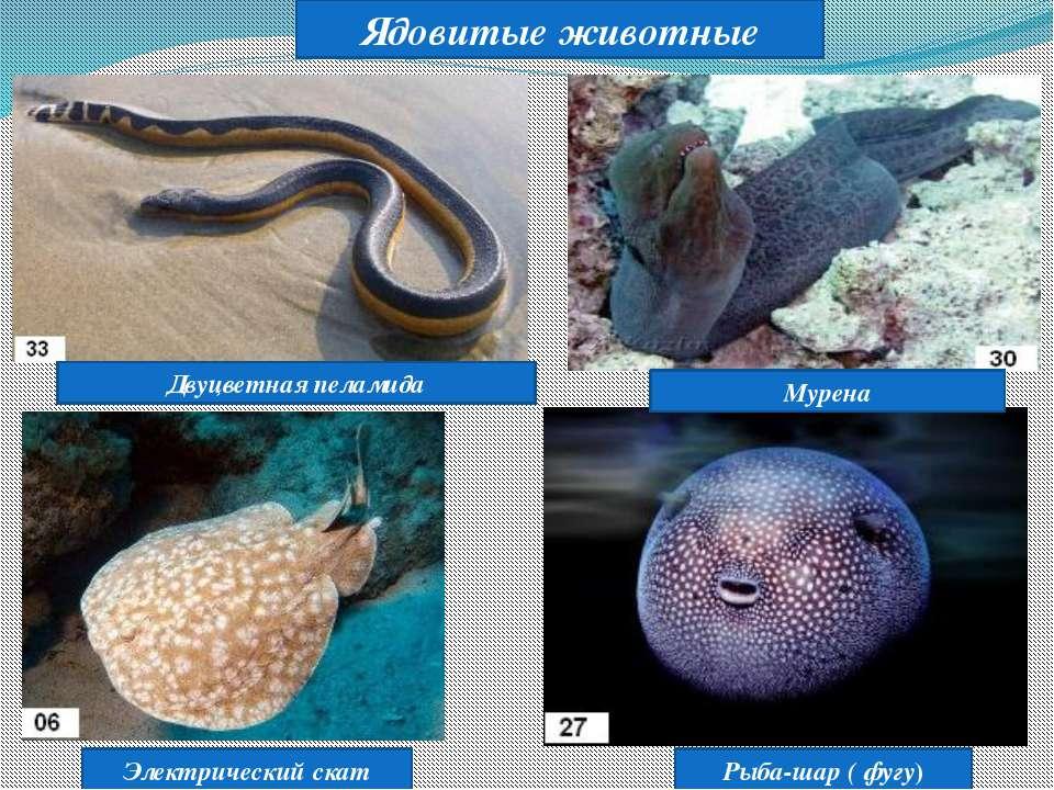 Ядовитые животные Рыба-шар ( фугу) Электрический скат Мурена Двуцветная пеламида