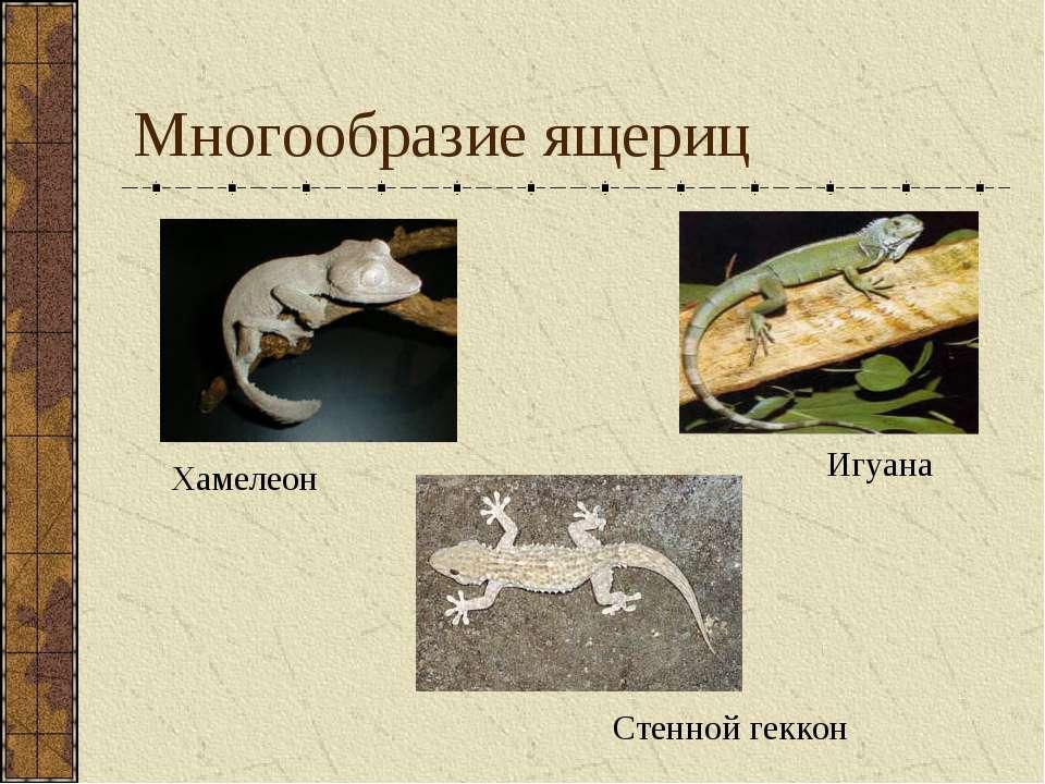 Многообразие ящериц Игуана Стенной геккон Хамелеон
