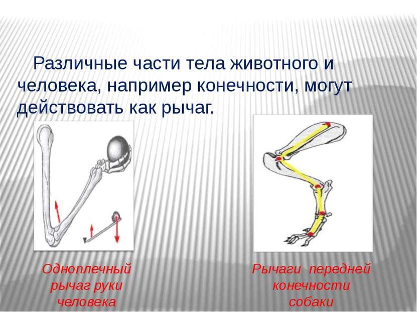 Различные части тела животного и человека, например конечности, могут действо...