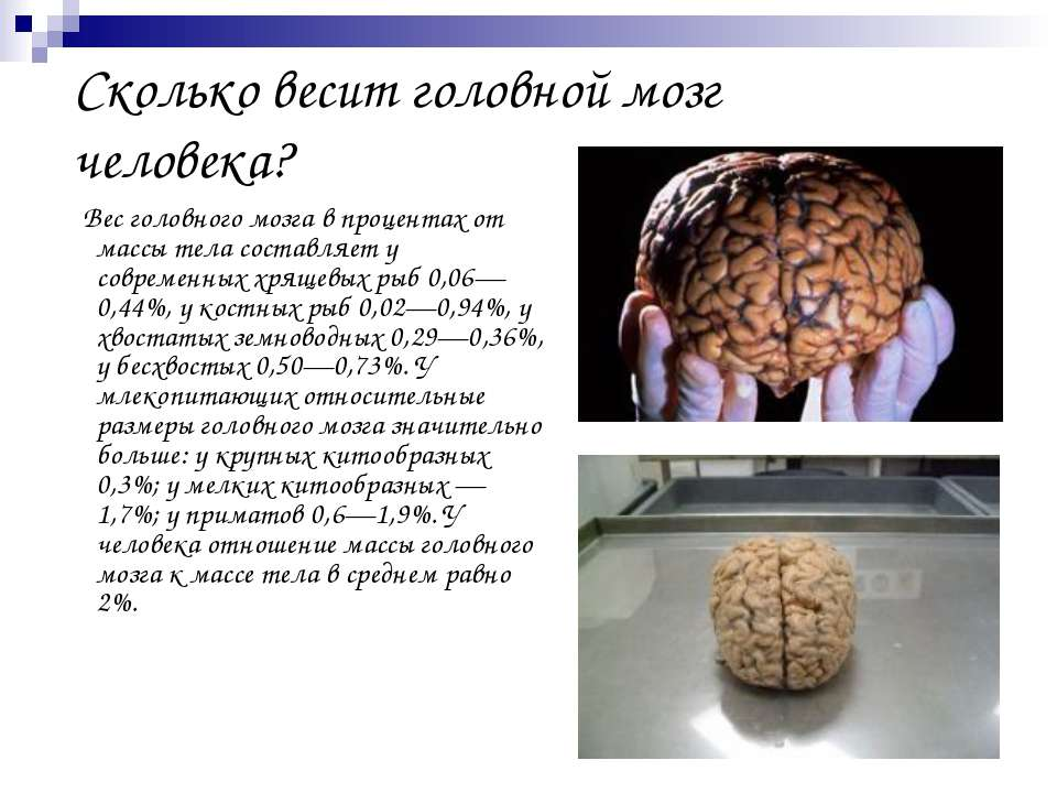 Сколько весит головной мозг человека? Вес головного мозга в процентах от масс...