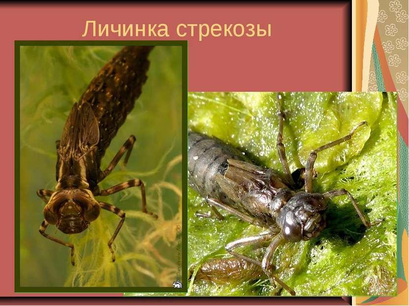 Личинка стрекозы