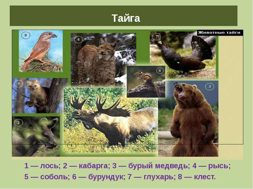 Животные тайги 1 — лось; 2 — кабарга; 3 — бурый медведь; 4 — рысь; 5 — соболь...