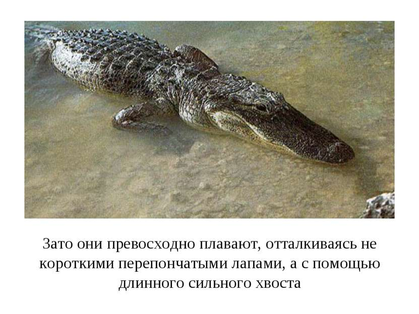 Зато они превосходно плавают, отталкиваясь не короткими перепончатыми лапами,...