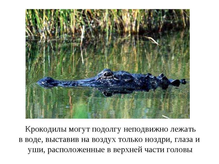 Крокодилы могут подолгу неподвижно лежать в воде, выставив на воздух только н...