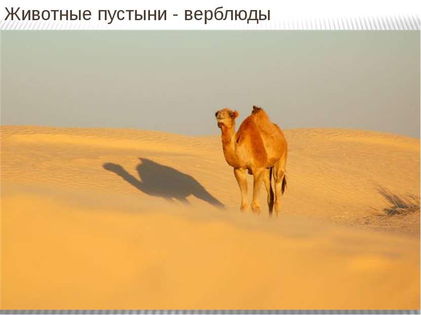 Животные пустыни - верблюды