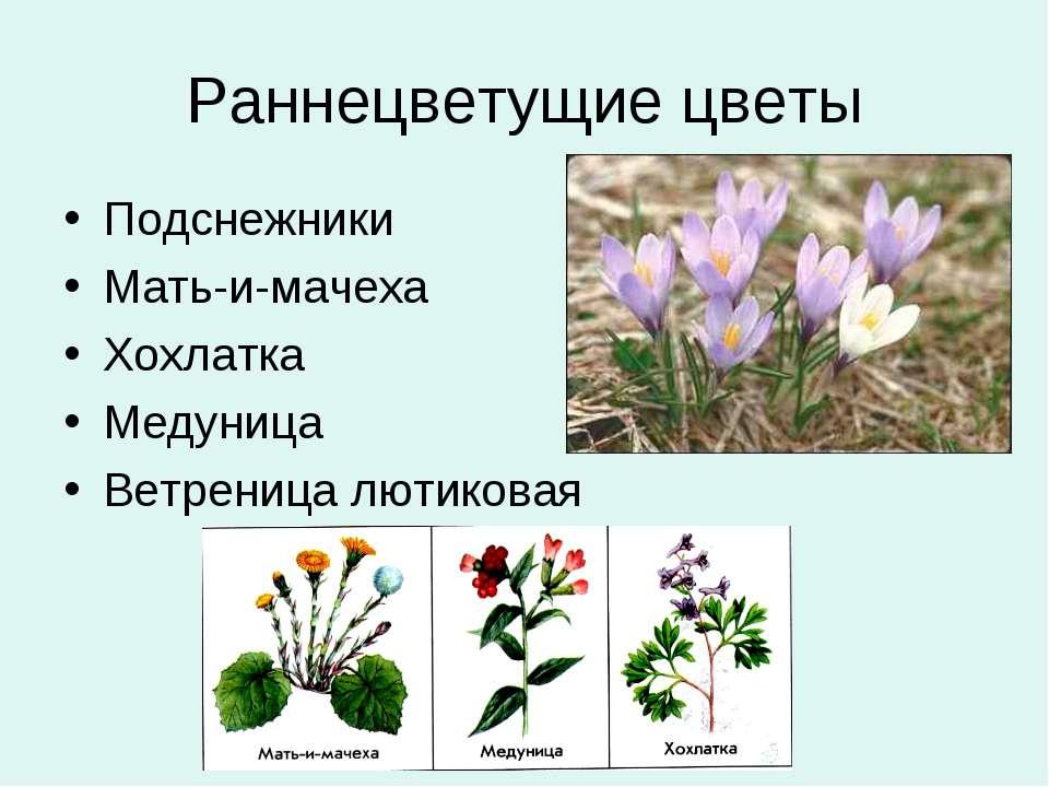 Раннецветущие цветы Подснежники Мать-и-мачеха Хохлатка Медуница Ветреница лют...