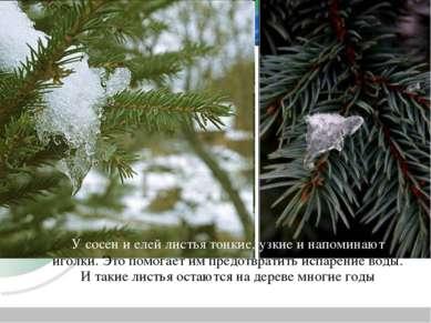 У сосен и елей листья тонкие, узкие и напоминают иголки. Это помогает им пред...