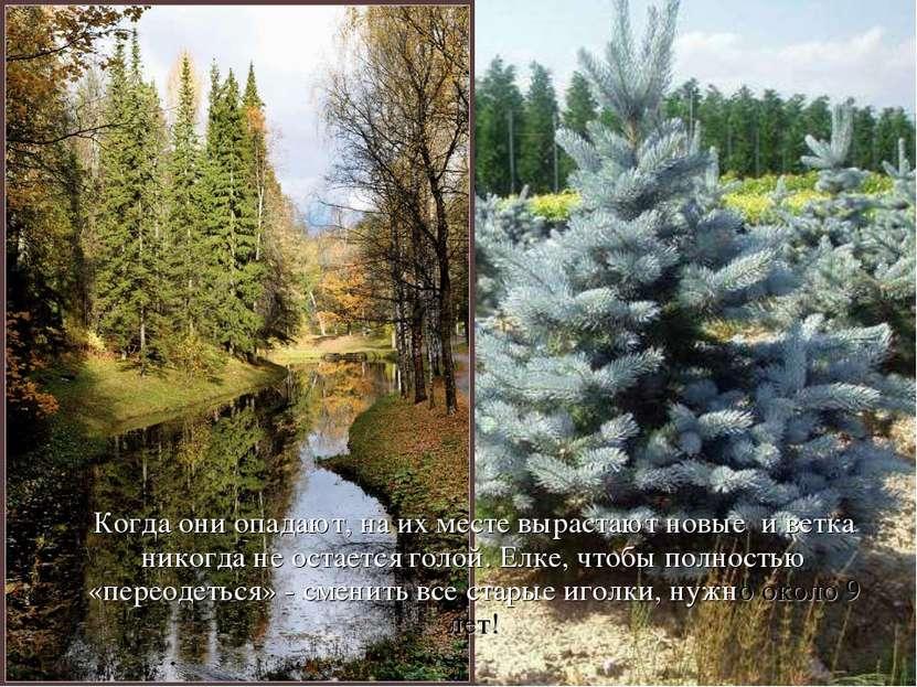 Когда они опадают, на их месте вырастают новые и ветка никогда не остается го...