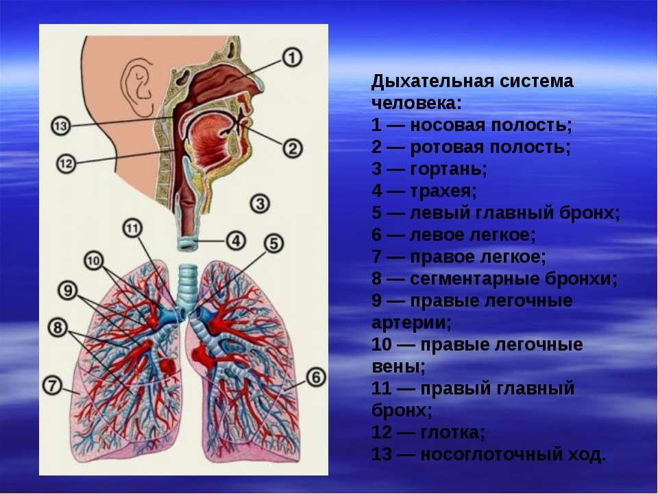 Дыхательная система человека: 1 — носовая полость; 2 — ротовая полость; 3 — г...
