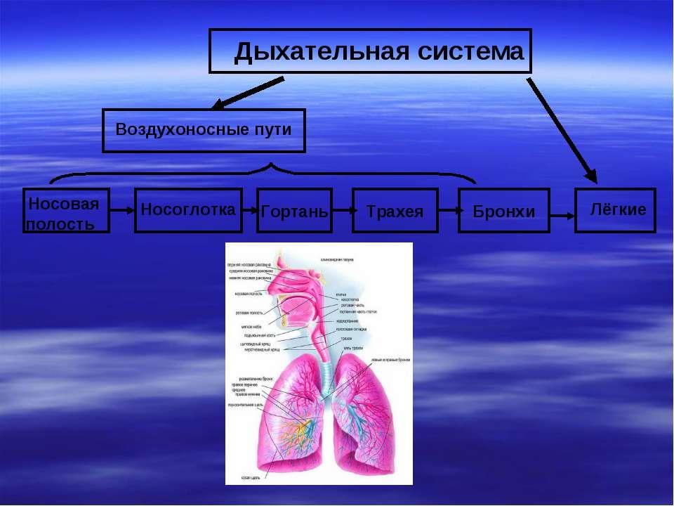 Носовая полость Дыхательная система Воздухоносные пути Лёгкие Носоглотка Горт...