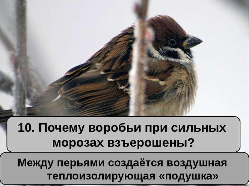10. Почему воробьи при сильных морозах взъерошены? Между перьями создаётся во...