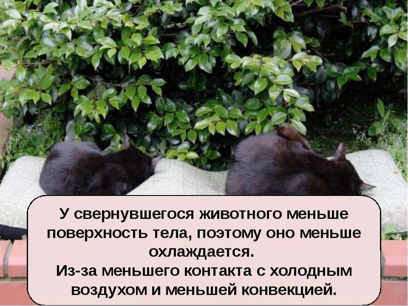 Почему при холодной погоде многие животные спят, свернувшись в клубок? У свер...