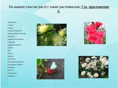 На нашем участке растут такие растения как: См. приложение 3. -картофель -том...