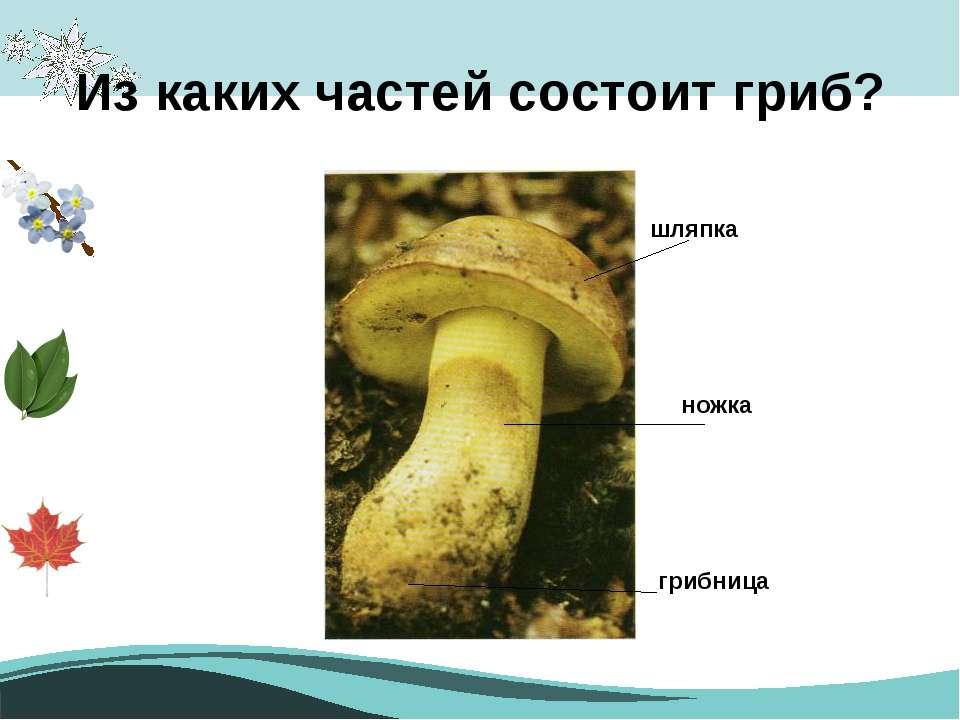 Из каких частей состоит гриб? шляпка грибница ножка