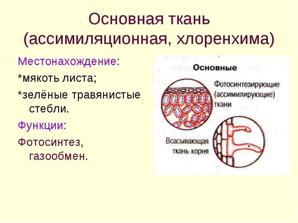 Основная ткань (ассимиляционная, хлоренхима) Местонахождение: *мякоть листа; ...