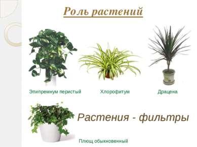 Роль растений Хлорофитум Эпипремнум перистый Драцена Плющ обыкновенный Растен...