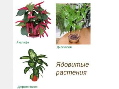 Акалифа Диоскорея Диффенбахия Ядовитые растения