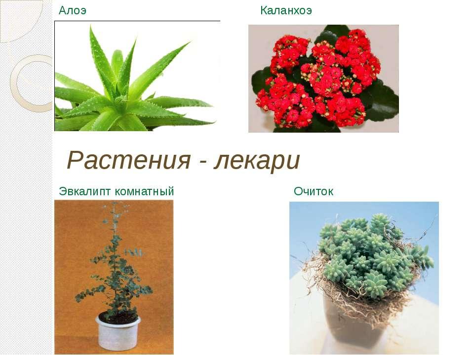 Очиток Эвкалипт комнатный Алоэ Каланхоэ Растения - лекари