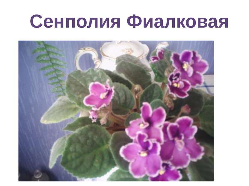 Сенполия Фиалковая