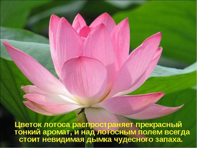 Цветок лотоса распространяет прекрасный тонкий аромат, и над лотосным полем в...