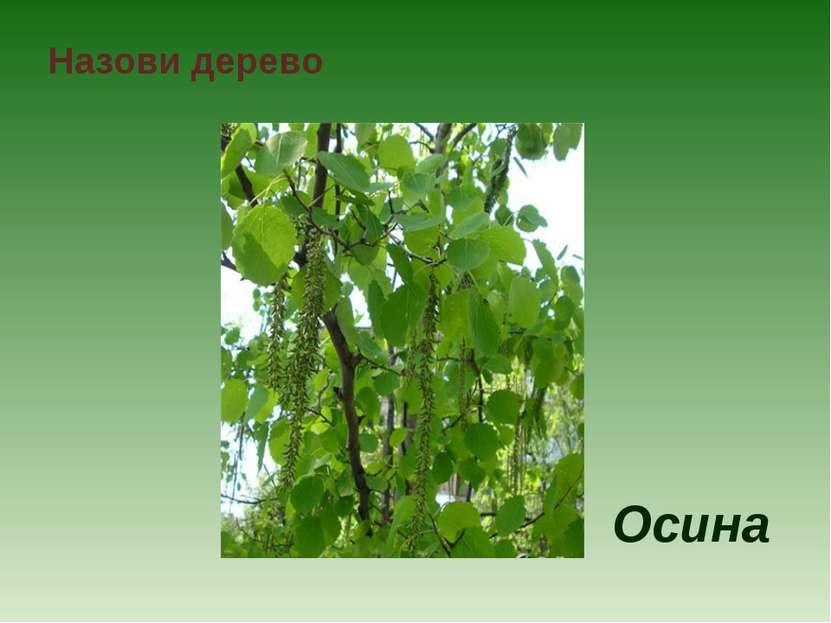 Назови дерево Осина