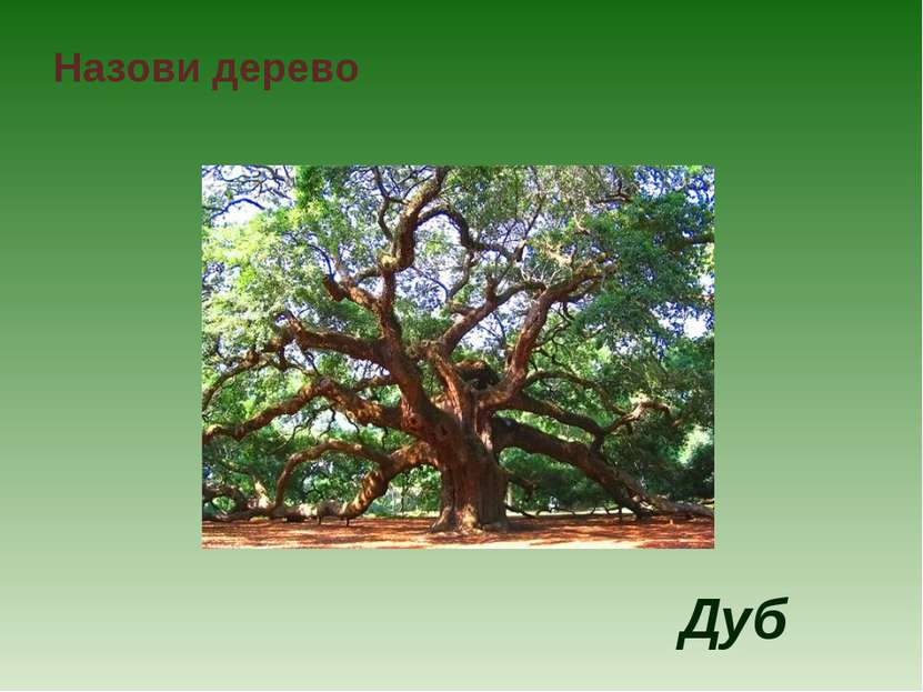 Назови дерево Дуб