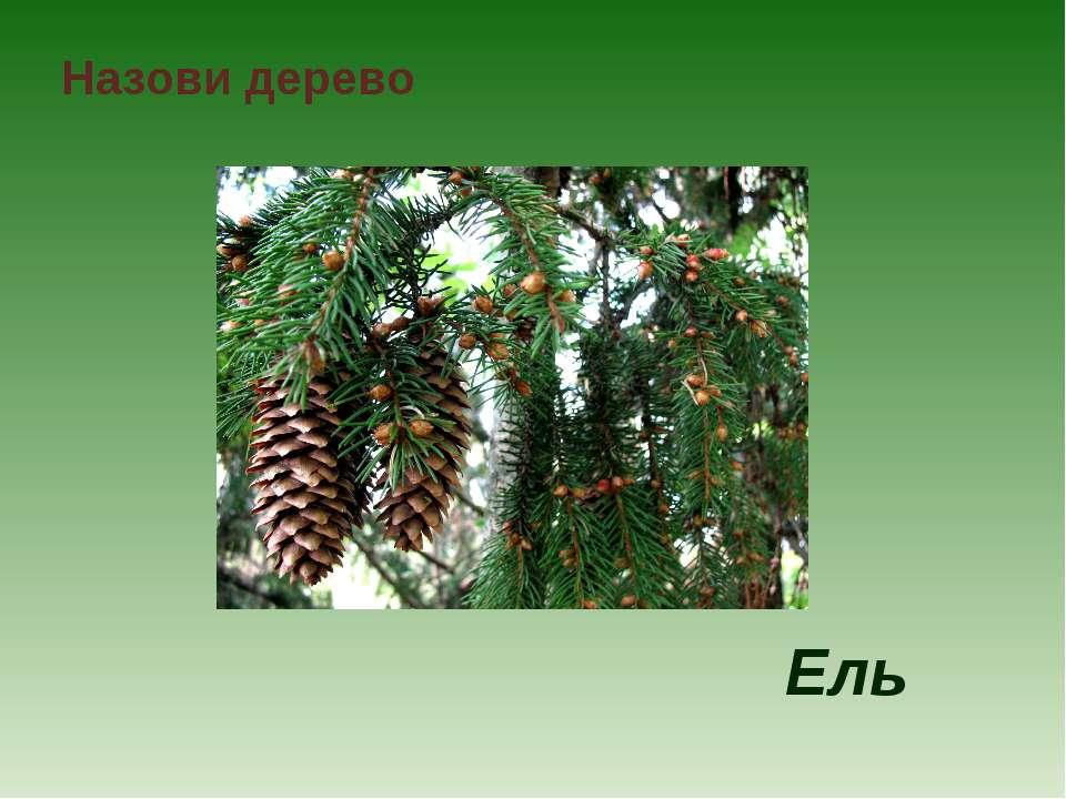 Назови дерево Ель