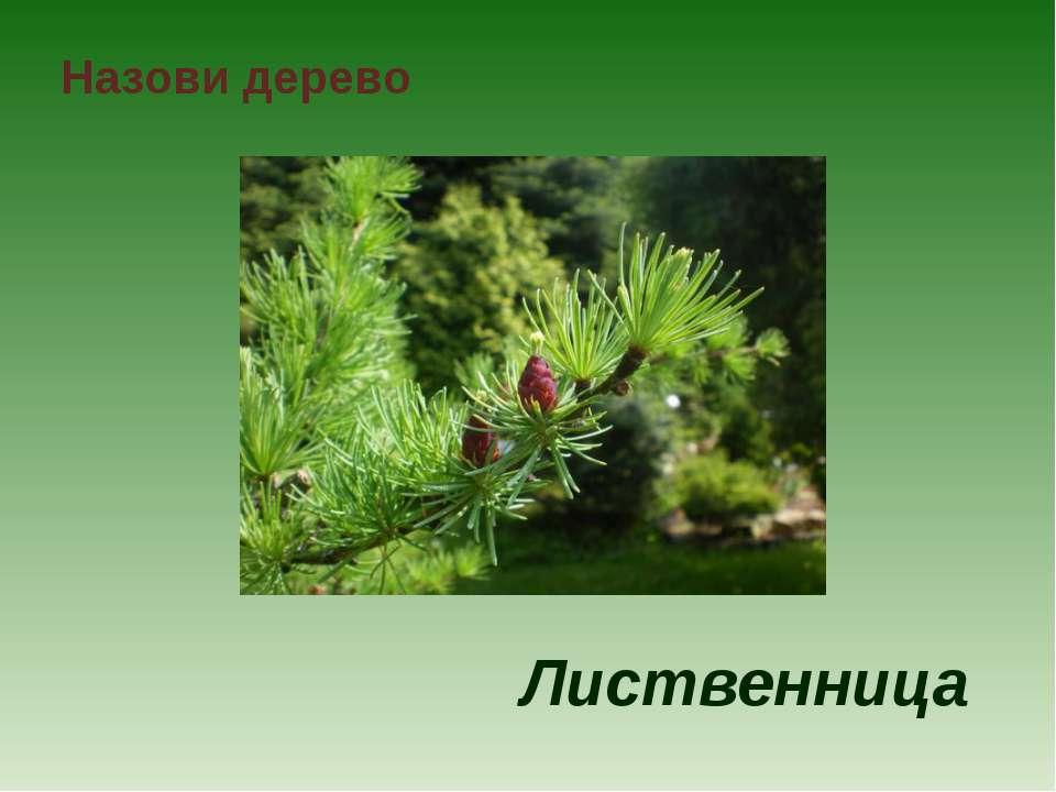 Назови дерево Лиственница
