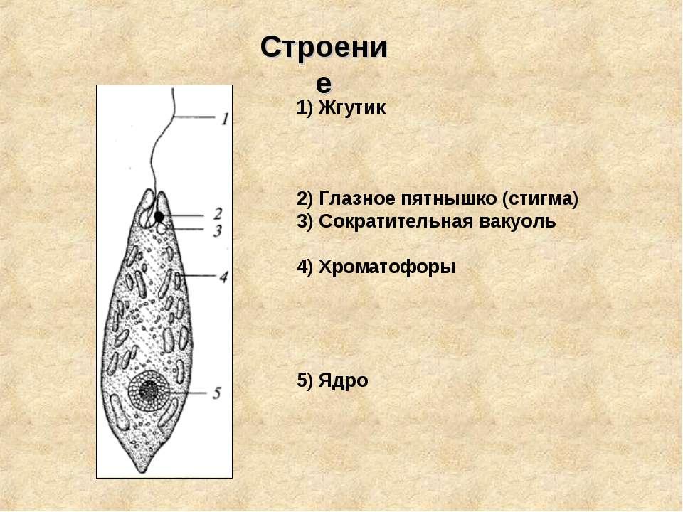 1) Жгутик 2) Глазное пятнышко (стигма) 3) Сократительная вакуоль 4) Хроматофо...