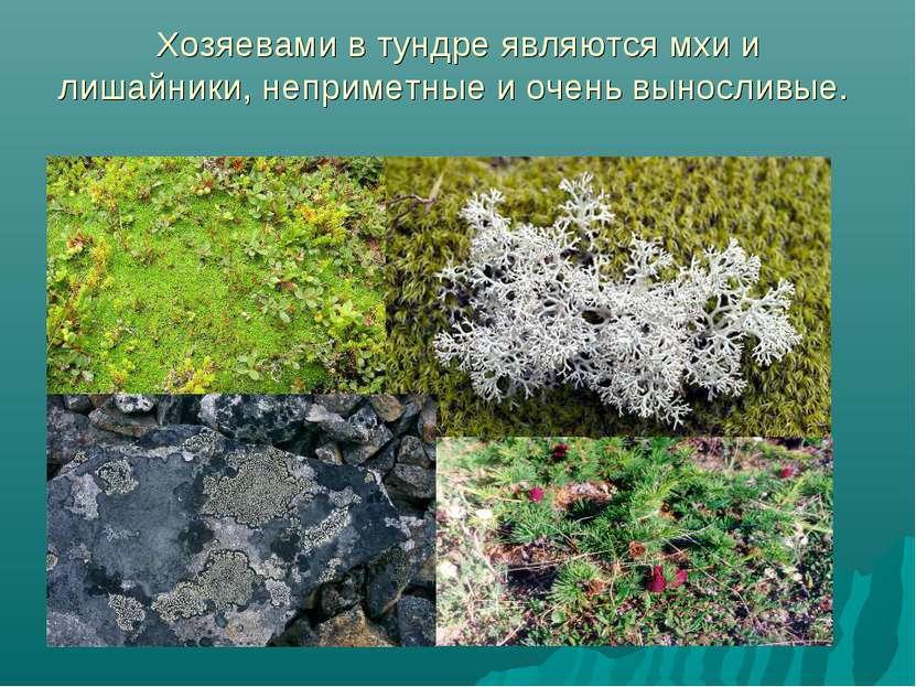 Хозяевами в тундре являются мхи и лишайники, неприметные и очень выносливые.