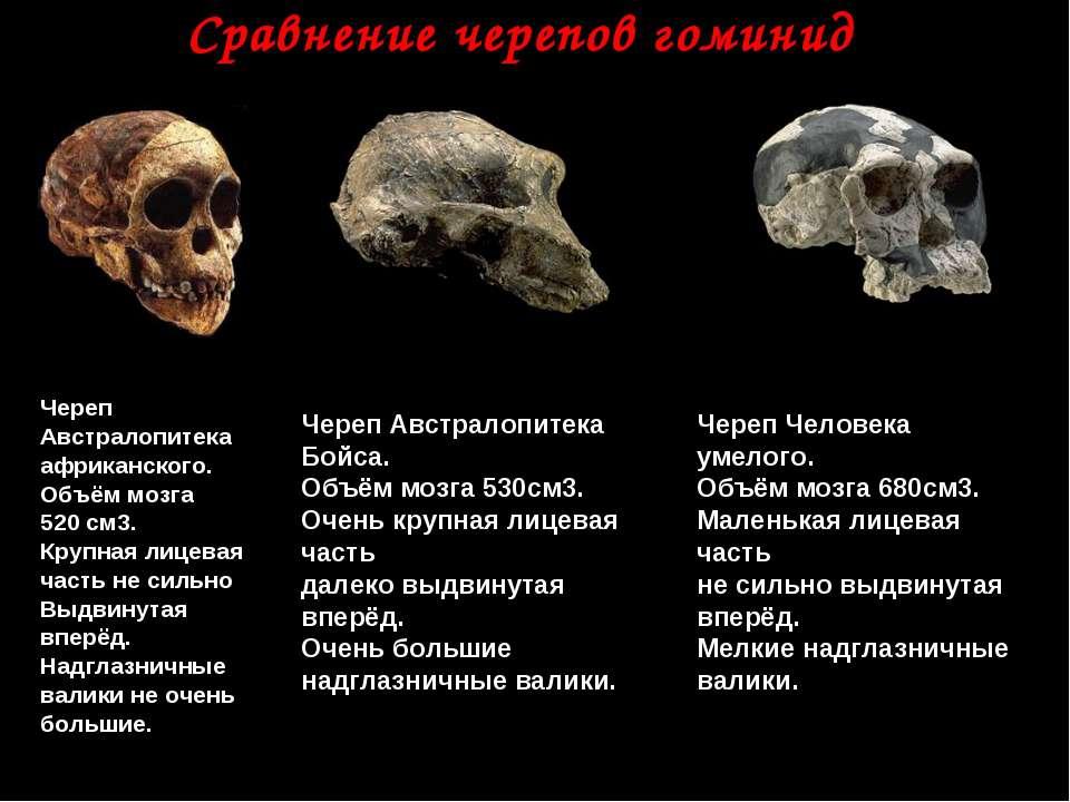 Сравнение черепов гоминид Череп Австралопитека африканского. Объём мозга 520 ...