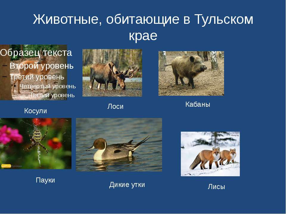 Животные, обитающие в Тульском крае Косули Лоси Кабаны Пауки Дикие утки Лисы