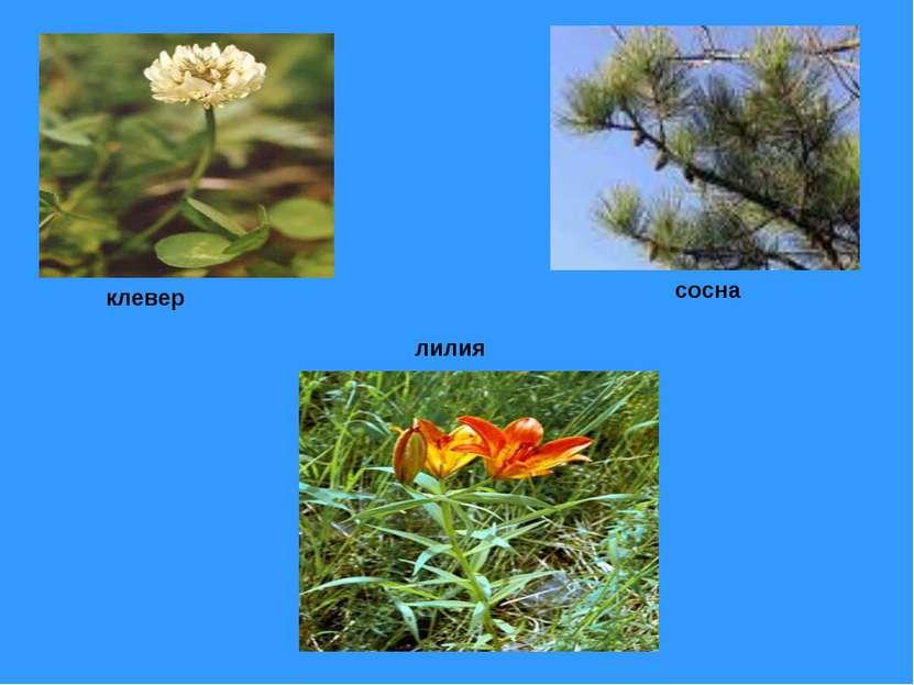 лилия сосна клевер