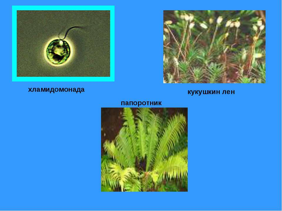 хламидомонада папоротник кукушкин лен
