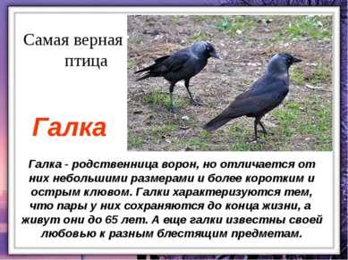 Галка - родственница ворон, но отличается от них небольшими размерами и более...