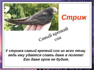 У стрижа самый крепкий сон из всех птиц- ведь ему удается спать даже в полете...