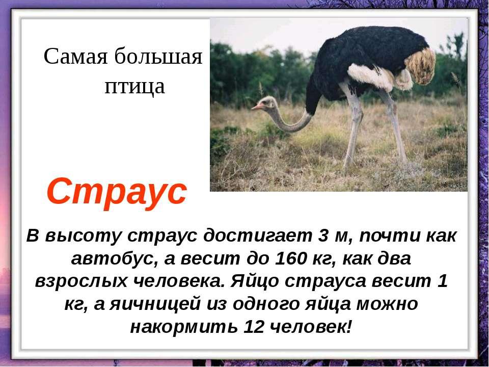 В высоту страус достигает 3 м, почти как автобус, а весит до 160 кг, как два ...