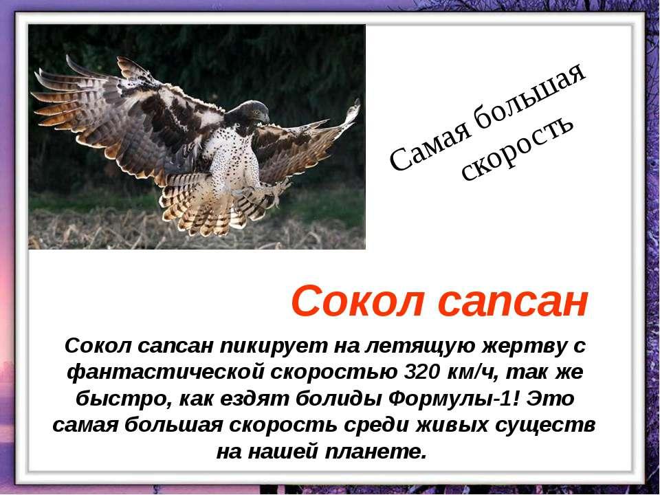Сокол сапсан пикирует на летящую жертву с фантастической скоростью 320 км/ч, ...